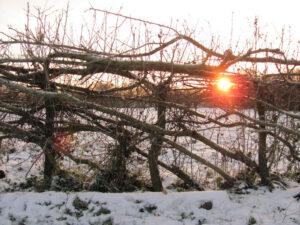 gevlochten heg bij opkomende zon